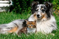 animal friendship : Sheltie and Maine Coon kitten