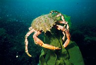 Great Spider Crab (Maja squinado). Galicia, Spain