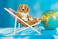 Nova Scotia Duck Tolling Retriever puppy in deckchair