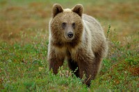 Brown Bear (Ursus arctos), cub. Finland.