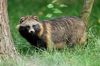 Raccoon Dog (Nyctereutes procyonoides). Germany