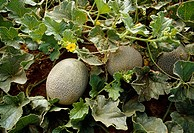 Agriculture - Cantaloupes on vine, San Joaquin Valley, California, USA