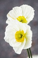 Two White Icelandic Poppies. Papaver nudicaule. March 2007, South Carolina, USA