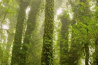 Lush Cloud Rain forest in the mist