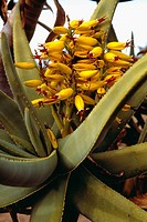 Agriculture - Aloe plant with yellow blossom at Flavel Garden / San Diego, California, USA