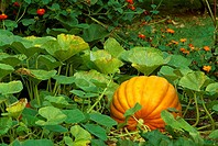 Agriculture - Mature pumpkin on the vine in a garden / Northern Kentucky, USA