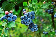 Agriculture - Blueberries on the bush in various stages of ripeness / Mississippi, USA