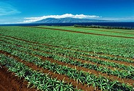 Agriculture - Fields of early growth pineapple plants / Maui, Hawaii, USA