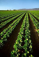 Agriculture - Rows of mid growth Romaine lettuce in late afternoon light with farm buildings in the background / Salinas Valley, California, USA