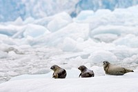 Harbor Seals lay on Floating Ice in South East Alaska, USA