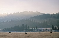 Cattle ranching in southern Alberta, Canada