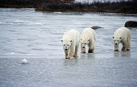 Polar bear family, Manitoba, Canada