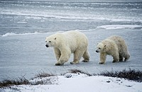 Polar bear mother and cub in a snowstorm, Churchill, Manitoba, Canada