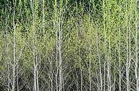 Spring foliage Worthington, Ontario, Canada