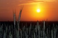 Grain field at sunrise, Treherne, Manitoba, Canada