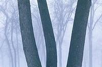 Trees in Fog, Saint Vital Park, Winnipeg, Manitoba, Canada