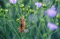 Grasshopper on flax, Wawanesa, Manitoba, Canada