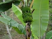 Banana bunch, Alto Rio Doce, Minas Gerais, Brazil