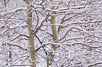 trembling aspens populus tremuloides in winter, sudbury ontario, canada
