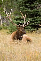 A bull elk cervus elaphus nelsoni is one of numerous wildlife species in jasper national park, rocky mountains, alberta, canada