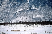 Woodland Caribou in Gros Morne National Park, Newfoundland, Canada