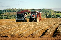 Harvesting potatoes, Hampton, Prince Edward Island, Canada