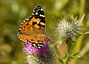 Painted Lady butterfly, Canada