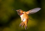 Rufous Hummingbird, Canada