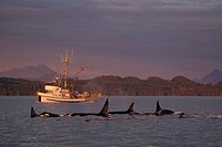 Orcas at sunset  Killer Whales off Northern Vancouver Island, British Columbia, Canada