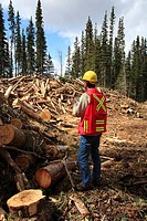Forest worker examining beetle kill cutblock, Smithers, British Columbia, Canada