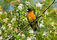 Black-headed Grosbeak Pheucticus melanocephalus, Canada
