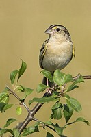 A Grasshopper Sparrow Ammodramus savannarum at the Carden Alvar in Ontario, Canada