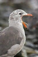A Heermann´s Gull Larus heermanni yawning near the shoreline in Victoria, British Columbia, Canada