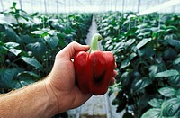 Hot House agriculture - Red Peppers, Lower Mainland, British Columbia, Canada