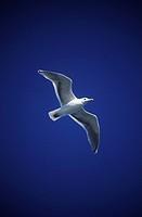 Glaucus Gull Larus hyperboreus, British Columbia, Canada