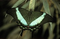 Green-banded Swallowtail butterfly of malaysia, British Columbia, Canada