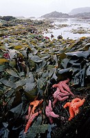 starfish and kelp at Mackenzie Beach, Tofino, Pacific Rim National Park, Vancouver Island, British Columbia, Canada