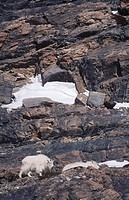 Mountain Goat Oreamnos americanus in Rocky Mountains near Banff, Alberta, Canada