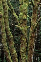 big leaf maple trees with moss, Vancouver Island, British Columbia, Canada