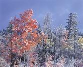 Aspens in snow, 70 Mile House, British Columbia, Canada