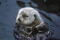 Sea Otters Enhydra lutra are making a slow comeback in BC´s coastal areas, British Columbia, Canada