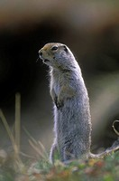 the Arctic Ground Squirrel Spermophilus paryii is found in BC's northern tundra, British Columbia, Canada