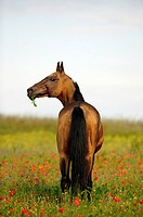 Akhal-Teke - standing on meadow