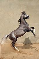 Asil-Arabian horse - rearing
