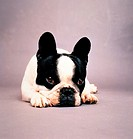 French Bulldog - lying frontal