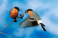 two eurasian bullfinches - at berry bush / Pyrrhula pyrrhula