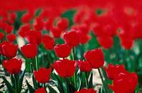 Tulip Nursery