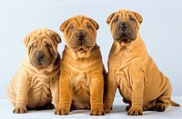 three Shar Pei puppies - sitting frontal