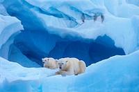 polar bear with cub - lying / Ursus maritimus