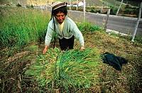 Woman Cutting Grass for Cattle, Puruhae community of Pulingui San Pablo, Ecuador Highlands